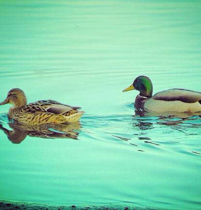 Ducks in Vancouver